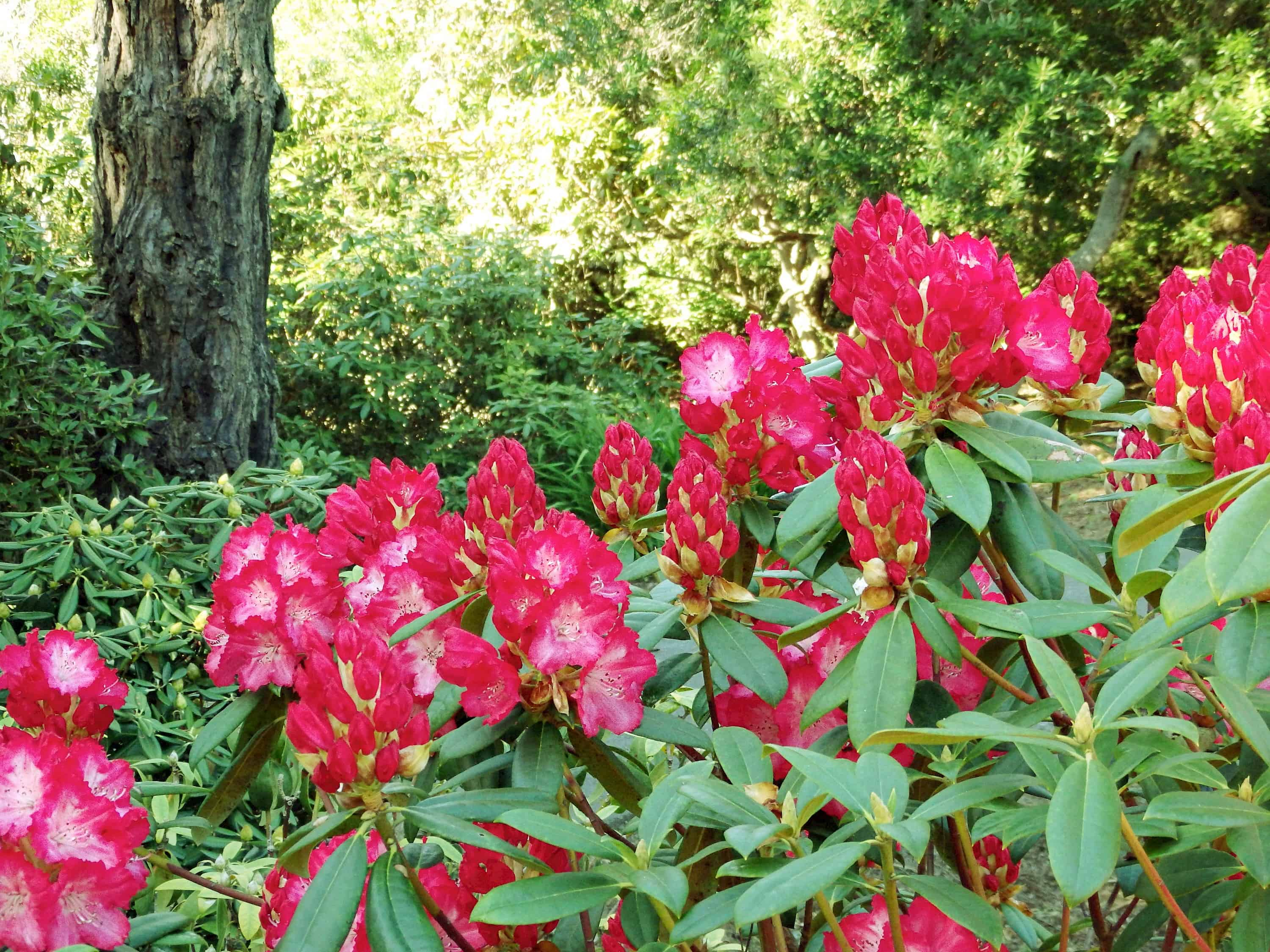 Rhododendrons Walks at the Mendocino Coast Botanical Gardens